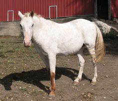 River is an adoptable Appaloosa Horse in Cedar Rapids, IA. Appaloosa mare is approximately 14 years old. We believe she has been handled, but is probably not broke to ride. Probably used as a brood ma...
