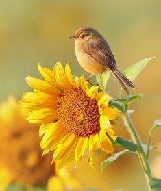 Pretty Birds, Love Birds, Beautiful Birds, Animals Beautiful, Sunflower Pictures, Sunflower Art, Sunflower Clipart, Sunflower Garden, Sunflower Fields