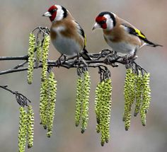 Goldfinches on catkins by Gatehousestudio.