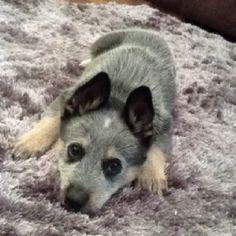 Cattle dog puppy - Max