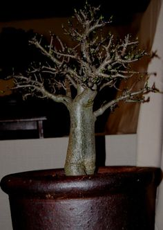 Baobob as bonsai and a lot of good info about turning them into bonsai