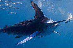 An Atlantic White Marlin (Kajikia albida) stabs a fish with its long, sharp bill. © Calcutta Fishing