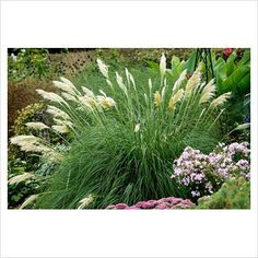Pampas white grass