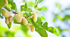 The amazing herb is growing everywhere and it is known as the White mulberry. This specific plant is proven to treat tumors, diabetes and high blood sugar among many other health benefits. Healthy Tips, Healthy Recipes, Healthy Food, Cape Gooseberry, Mulberry Tree, New Fruit, Variety Of Fruits, Healing Herbs, Edible Garden