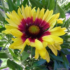Long lasting festive Sunset Mexican Gaillardia boast bright yellow flowers with red centers. Plant in full sun and attract pollinators to your garden. Its deer resistant and is easy to grow. Enjoy blooms from early spring to fall. Yellow Perennials, Herbaceous Perennials, Easy Care Plants, Plant Care, Large Flowers, Yellow Flowers, Deer Resistant Perennials, American Meadows, Spring Plants