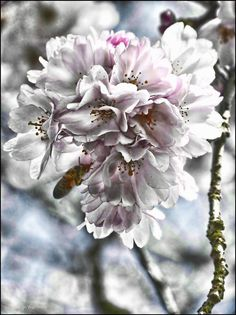 cherry blossom - null