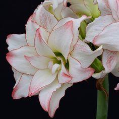 Amaryllis 'Aphrodite' - ihre wunderschönen Blüten entwickeln sich aus einer dicken Blumenzwiebel. Sie wird im Winter als Zimmerpflanze kultiviert. Erhältlich im Onlineshop www.fluwel.de