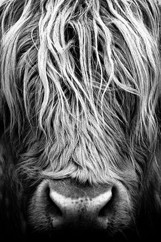 Highland Cow Art, Highland Cattle, Close Up Photography, Nature Photography, Farm Animals Pictures, Giraffe Drawing, Fluffy Cows, Cow Print, Aesthetic Wallpapers