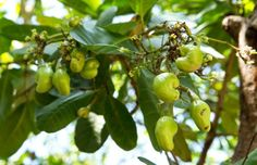 Cashew Cultivation:The cashew tree is a fast grower and tropical evergreen tree that produces the cashew nut (seed) and the cashew apple. Cashew Apple, Cashew Tree, Agriculture Farming, Growing Tree, Fruit Trees, Permaculture, Health And Wellness, Seeds, Stuffed Peppers