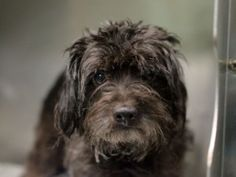 SUPER URGENT 10/22/15 Brooklyn Center  My name is CHAPO. My Animal ID # is A1055038. I am a male black and gray schnauzer min mix. The shelter thinks I am about 10 YEARS old.  I came in the shelter as a STRAY on 10/16/2015 from NY SAFE