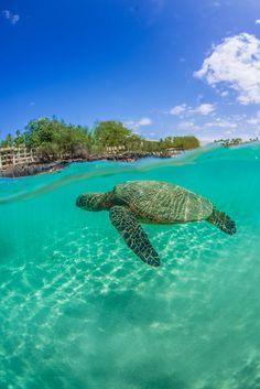 Sea turtle - Kona, Big Island, Hawaii