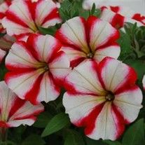 Crazytunia® Cherry Cheesecake Petunias