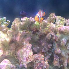 #arrecife #tank #coral #alga #marino #ocellarisclownfish #ocellaris #clownfish #pecera #acuario #pez https://t.co/gXuvfeiNyM
