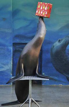 A sea lion balances a Christmas present at the zoo in the northern German city         of Hanover