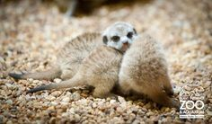 Baby meerkats... heart is exploding