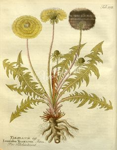 leontodon taraxacum      ...