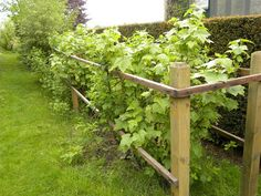 (and I have all 3 types of plant now....?) though I heard (perhpas mere rumor) not to plant black and red currants together as they'd cross and would lose the black ones...?) wooden fence for raspberry, red currant and blackcurrant bushes