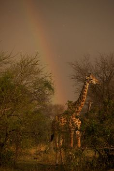 Dispatch #13: The Poetry of Giraffes POSTED DECEMBER 19, 2011 A sudden storm came up with a rainbow and we searched quickly for the 14 giraffes we had seen feeding together.