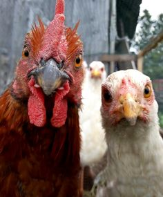 Oh, crap. They're here, and they want their eggs back. ~~ Houston Foodlovers Book Club