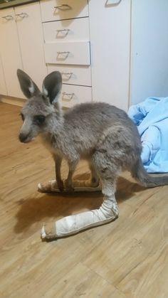 Kangaroos injured in fire