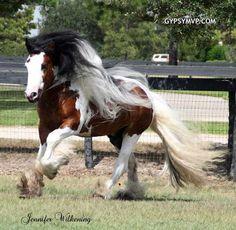 Gorgeous Gypsy Stud  http://www.gypsymvp.com/horses/dazzling-bobby/dazzling-bobby-gypsy-vanner-stallion.html