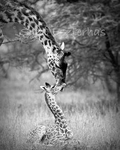 Safari Nursery Art BABY GIRAFFE and MOTHER Photo 8 X by WildBabies, $24.00