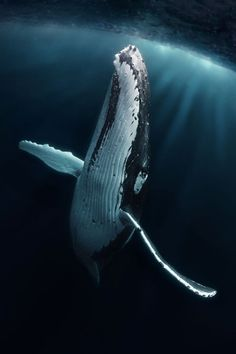Giant By: Grant Thomas Beautiful Sea Creatures, Whale Art, Life Aquatic, Wale, Ocean Creatures, Tier Fotos, Ocean Photography, Humpback Whale, Killer Whales