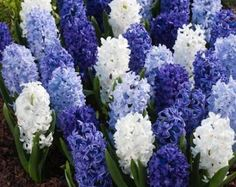 """A gorgeous mix assembling various shades of blue to white hyacinths. Sweet-scented, Hyacinth Bulbs can be planted outside in rows or as borders, and can also be grown inside in containers. Resistant to deer, squirrels, rabbits, and rodents. Plant ourhyacinth bulbs """"blue mix"""" in full sun or partial shade."""