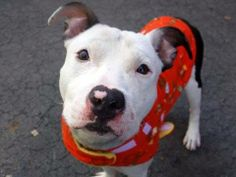 SAFE --- URGENT - Manhattan Center    OXTAIL - A0993602   MALE, BLACK / WHITE, PIT BULL MIX, 1 yr  STRAY - STRAY WAIT, NO HOLD Reason STRAY   Intake condition ILLNESS Intake Date 03/10/2014, From NY 10456, DueOut Date 03/13/2014, I came in with Group/Litter #K14-170266. https://www.facebook.com/photo.php?fbid=772365862776295&set=a.617938651552351.1073741868.152876678058553&type=3&permPage=1 +++++FRIENDLY LITTLE TAILWAGGER++++++