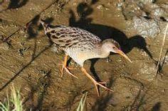 Clapper Rail (Rallus longirostris) Saracura-matraca