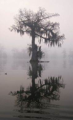 Cypress, Lake Martin, near Lafayette, Louisiana, 2011, photo by Steve Pierce