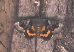 Catocala badia coelebs, The Old Maid Underwing, posed scan by Bill Oehlke…