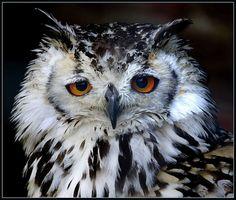 Asian eagle owl looking a little sad (Bubo bubo) by hawkgenes