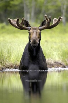 Moose sitting in Pond | Wild Light Images - WILDLIFE PRINTS by Andrew Thompson
