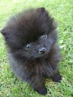 Tiny kleinspitz puppy Lilo♡