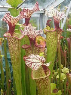 Stunning Sarracenia