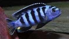 pseudotropheus saulosi
