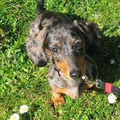 Bella my mini dapple dauchshund