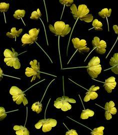 54382-01 Ranunculus acris | by horticultural art
