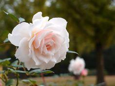 Rose Dove バラ ダブ English Rose イングリッシュローズ United Kingdom イギリス Austin 1986