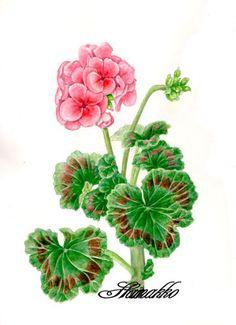 Botanical art, Watercolors. Pelargonium, geranium