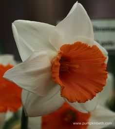 Narcissus 'Chromacolor' available from H. W. Hyde & Son, specialist growers of lilies and other bulbs. Pictured at The RHS London Spring Plant Extravaganza in the RHS Lawrence Hall, London.