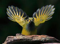 https://flic.kr/p/7pDT36 | #533 藪鳥雙扇 (Flaming Speaker) | 藪鳥.攝於台灣 南投縣 溪頭 Steere's Babbler, taken at Shitou, Nantou County, TAIWAN