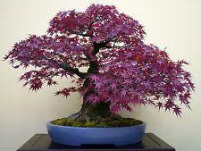 10 Purple Ghost Japanese Maple Tree Bonsai Garden Seeds Home Deco Indoor