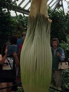 Chicago Botanic Garden's Spike, waiting to bloom.
