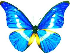 This butterfly produced in Brazil, Peru and other countries, there are very few, and now basically extinct, very precious.