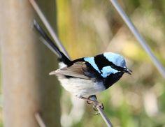 Blue wren... Australia