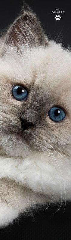 Ragdoll Kitten and pet shop yarmouk basin, and qartulad filmebi srulad comze. Ragdoll Cat Breed, Ragdoll Kittens, Kittens Cutest, Cats And Kittens, I Love Cats, Crazy Cats, Cool Cats, Animals And Pets, Baby Animals