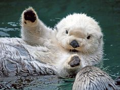 If I believed that reincarnation was a thing, I would totally want to be a sea otter. Or maybe a river otter. I don't really care! All otters just look like they are always having fun! Cute Otter, Otter Love, Otter Pup, Baby Otters, Cute Baby Animals, Animals And Pets, Funny Animals, Animals Sea, Animal Babies