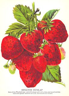 Antique Images: Strawberry Clip Art: Vintage Seed Catalog Strawberry Variety Senator Dunlap